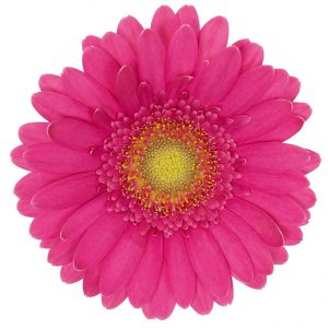 Gerbera Mini Pink-Hot Vegas (Light Center)