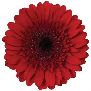 Gerbera Mini Red Velluto (Dark Center)
