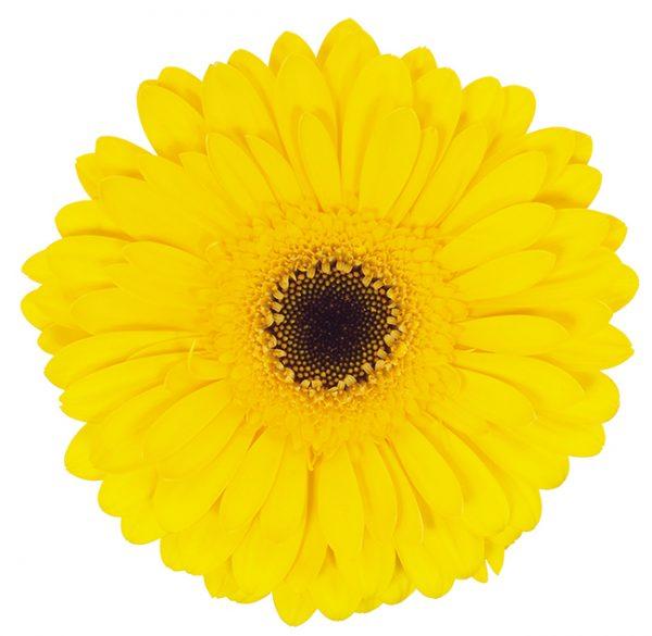 Gerbera Yellow Wake Up (Dark Center)