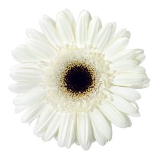 Gerbera White White House (Dark Center)