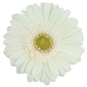 Gerbera Mini White White Star (Light Center)