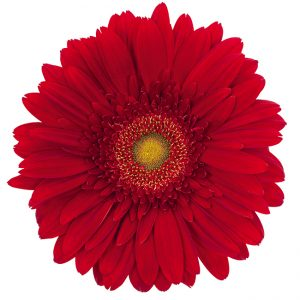 Gerbera Red Winsor (Light Center)