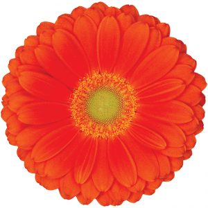 Gerbera Orange Zodiac (Light Center)