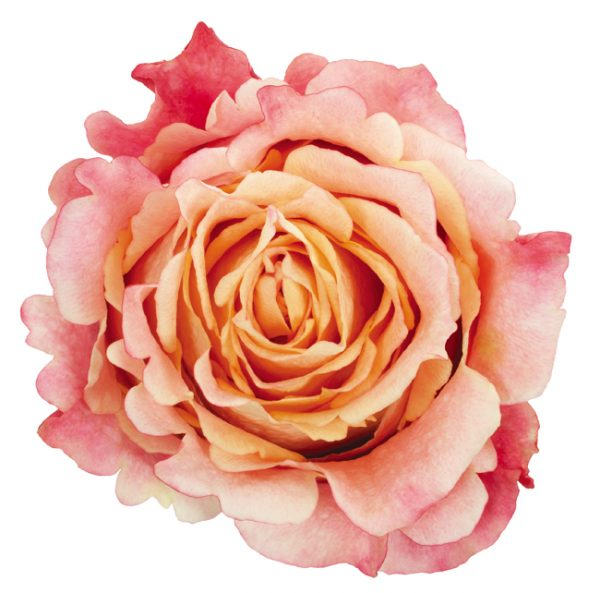 Rose Bi-Color Peach 3D