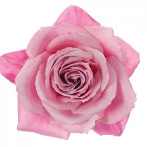 Rose Pink Blushing Eskimo