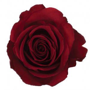 Rose Hot Pink Brave