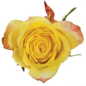 Rose Yellow Golden Tower