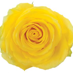 Rose Yellow Good Times