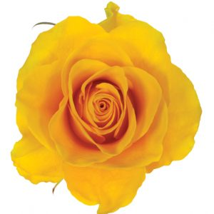 Rose Yellow Impact