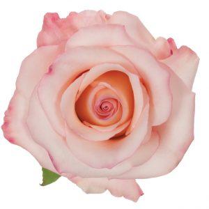 Rose Hot Pink Rhoslyn