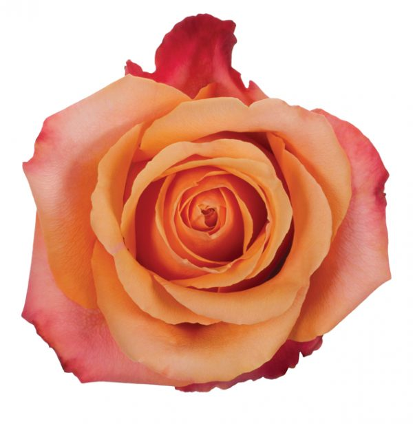Rose Orange Taxo