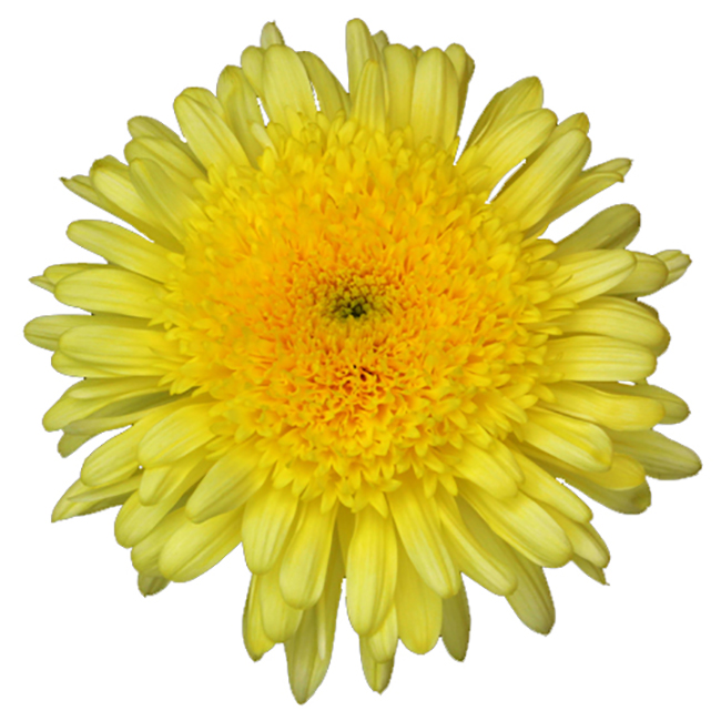 Yellow Eleonora