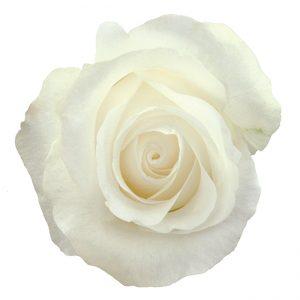 Rose White Akito