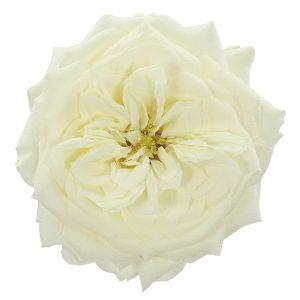 Roses Garden White Alabaster