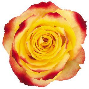 Rose Bi-Color Yellow Alert