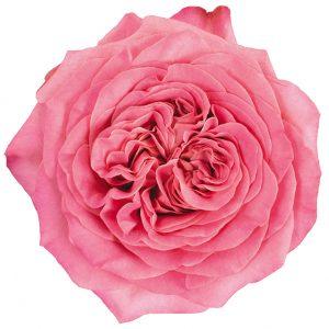 Roses Garden Coral Ashley