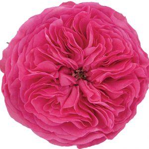Roses Garden Pink Baronesse