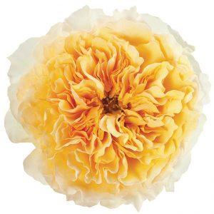 Roses Garden Yellow Beatrice