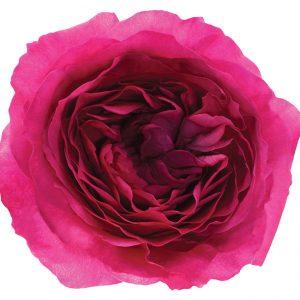 Roses Garden Pink Capability