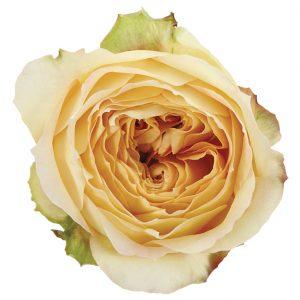 Roses Garden White Caramel Antike