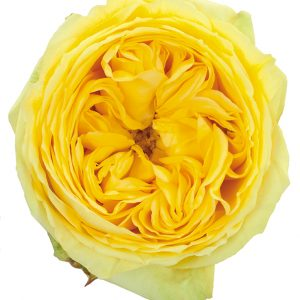 Roses Garden Yellow Catalina