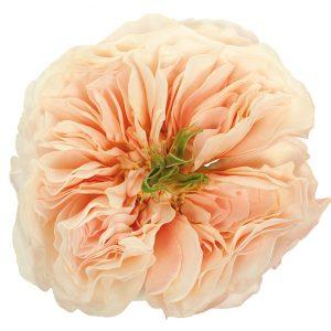 Roses Garden Pink-Light Charity