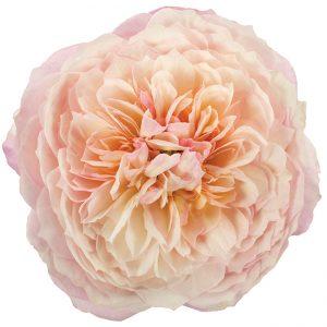 Roses Garden Pink-Light Constance