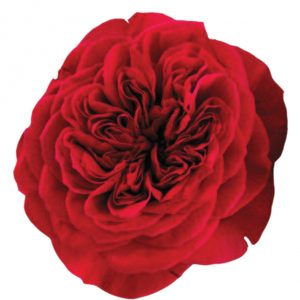 Roses Garden Pink Darcey