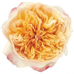 Roses Garden Pink Edith