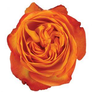 Roses Garden Orange Fiction