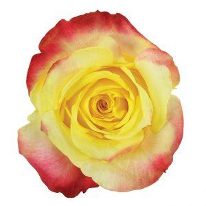 Rose Bi-Color Yellow Hot Merengue