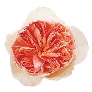 Roses Garden Peach Juliet