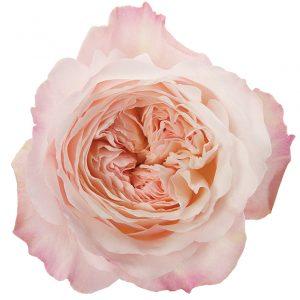 Roses Garden Pink-Light Keira