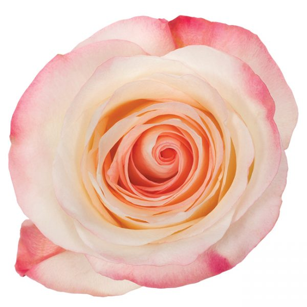 Rose Bi-Color Pink Marilyn