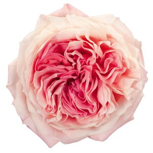 Roses Garden Pink-Light Mayra's Bridal Pink