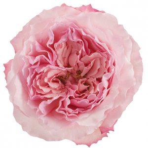 Roses Garden Pink-Light Mayra's Rose