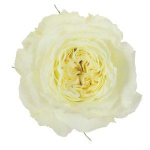 Roses Garden White Mayra's White