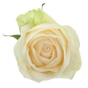 Roses Garden White Mythos