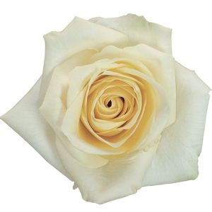 Rose White Nacar