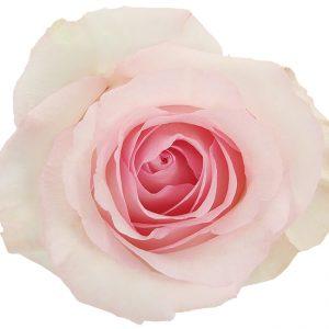 Rose Light Pink Nena