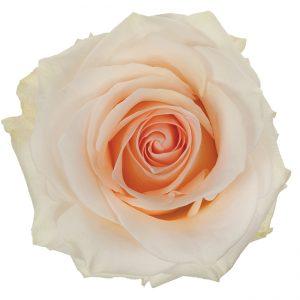 Rose Cream Pastella