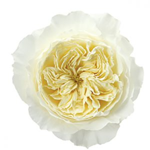 Roses Garden White Patience