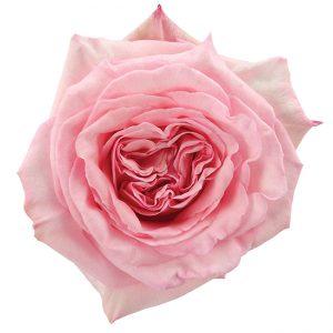Roses Garden Pink-Light Pink O'Hara