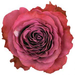 Roses Garden Mauve Precious Moments