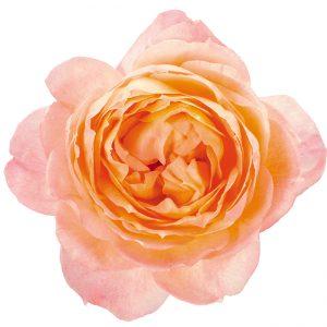 Roses Garden Peach Princess Aiko