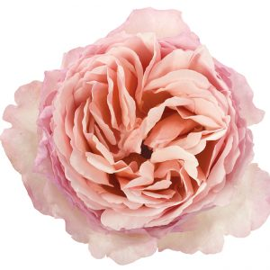 Roses Garden Peach Princess Charlene