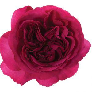 Roses Garden Pink Princess Kishi