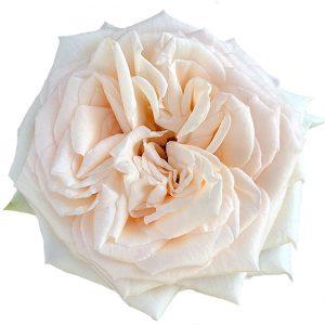 Roses Garden Peach Princess Maya