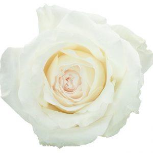 Roses Garden White Princess Miyuki