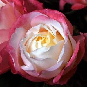 Roses Garden Pink Princess Suki